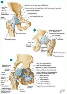anca-vista-anteriore-posteriore-articolazione-netter