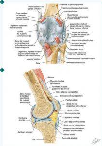 ginocchio-illustrazione-strutture-interne-netter