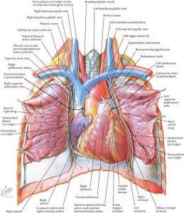 Tavola Netter apparato respiratorio